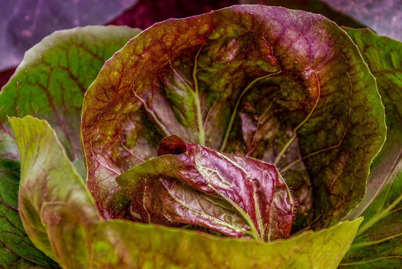purple cabbage plant