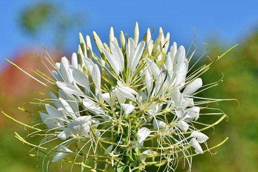 500 Free Spider Flower Flower Images Pixabay