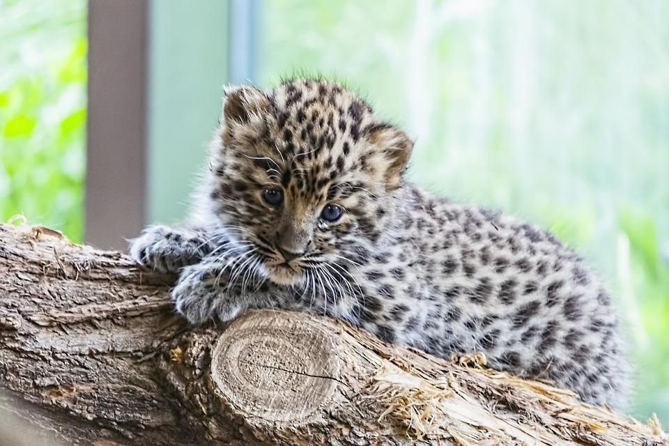 Amur, Amur Leopard, Amur Leopard Baby, Leopard Baby