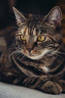 Katze, Hauskatze, Getigert, Haustier