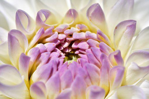 Dahlias Images Pixabay Download Free Pictures
