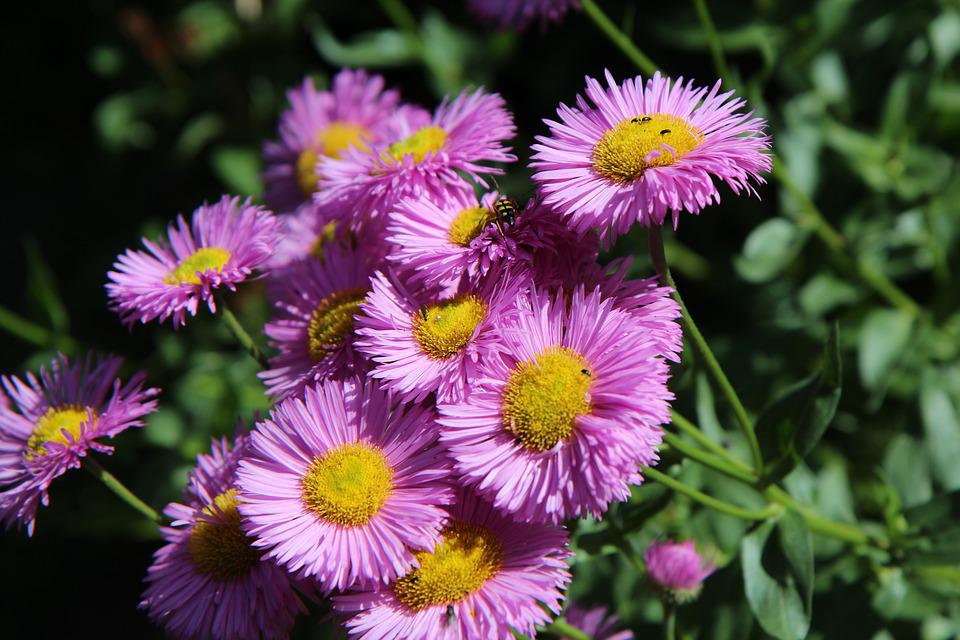 Flowering Perennial Pink Flowers Free Photo On Pixabay