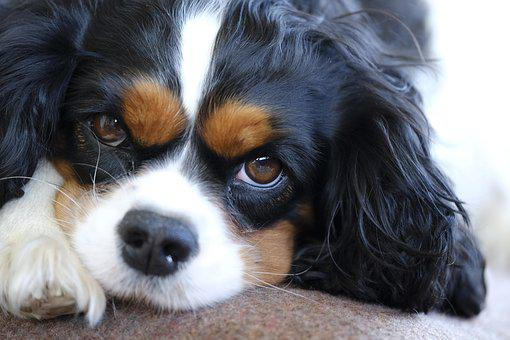 Cavalier King Charles Puppies For Sale in Massachusetts