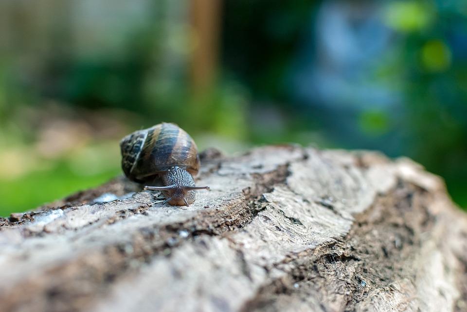 snail gastropod nature free photo on pixabay