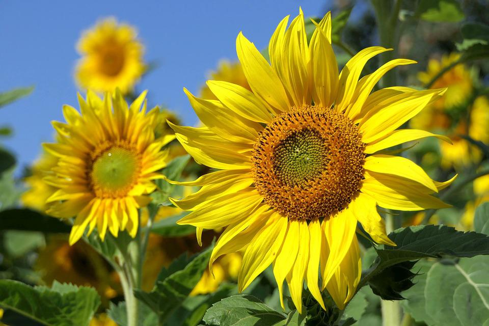 Sunflower, Flower, Bright, Plant, Close Up, Summer