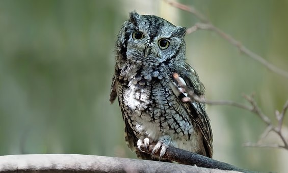 Eastern Screech Owl, Owl, Bird, Feathers