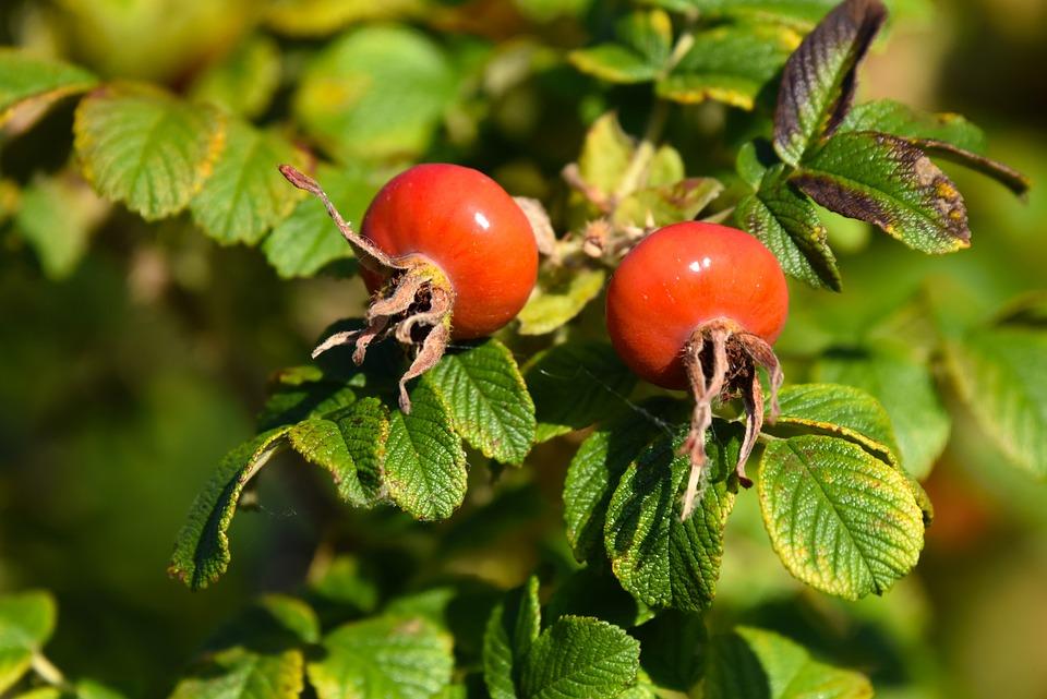 Rosa Canina, Frutta, Cespuglio Di Rosa, Cibo