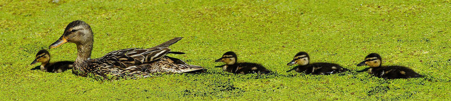 Duck, Mama, Chicks, Sweet, Cute, Bill
