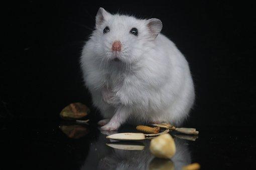 Hamster, Pets, Small Animals
