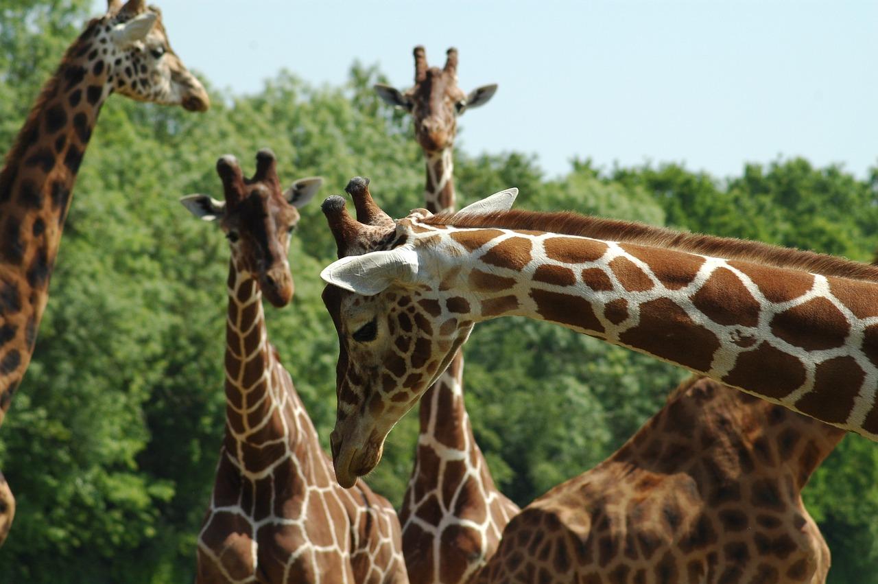 фото жирафа в природе жуки появляются