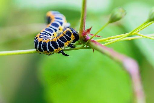 Caterpillar, Cos-Monk, Cucullia Lactucae