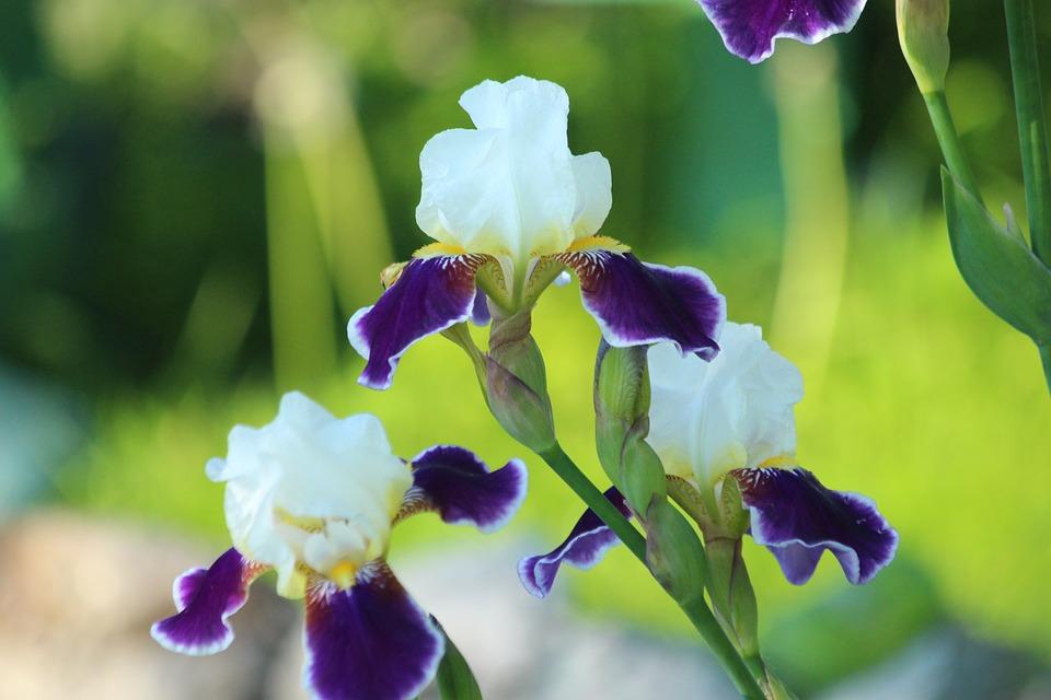Iris fiori da giardino · foto gratis su pixabay