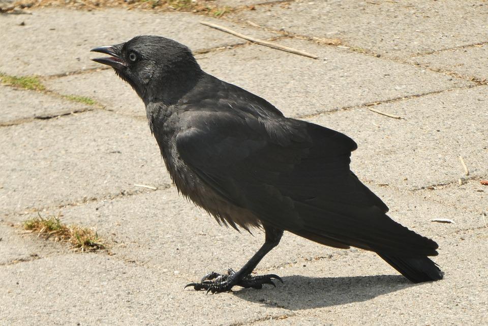 Veľké vtáky čierne