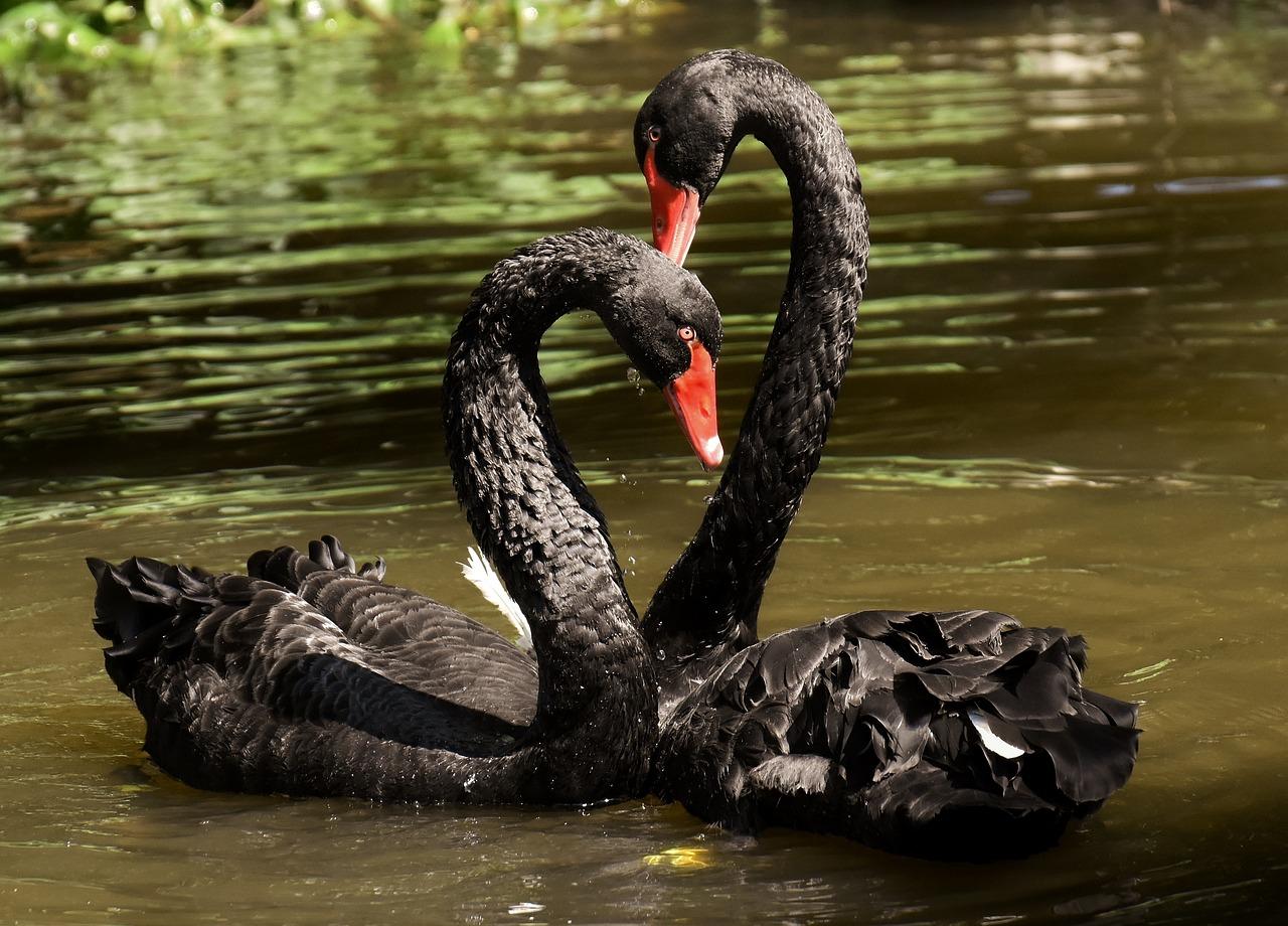 располагается непосредственно черные лебеди в австралии фото красивые светящиеся