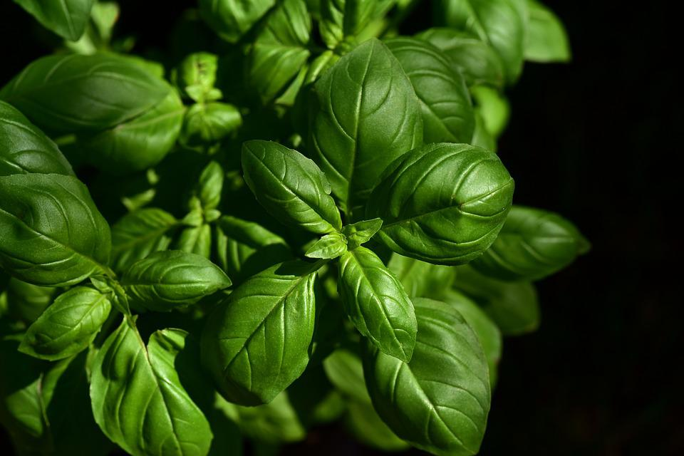 Basil, Herb, Culinary Herbs, Spice, Green, Plant