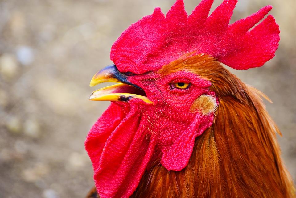 Galliformes-clasifican-los-gallos-y-gallinas