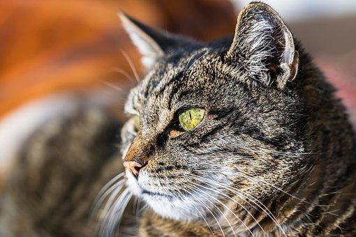 Tier, Katze, Haustier, Pelz, Nahaufnahme