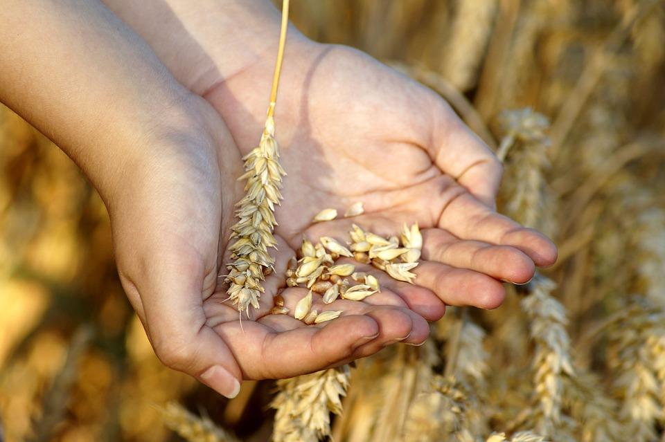 Wheat Hands Grain - Free photo on Pixabay