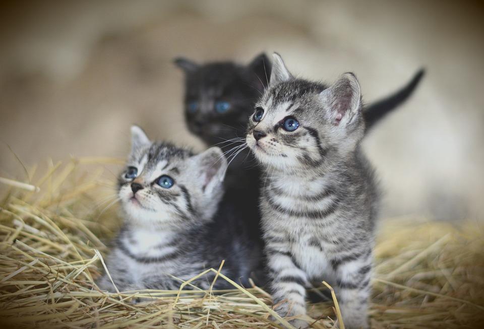 Gato, Animais Jovens, Gatinho, Cavala, Gato Doméstico
