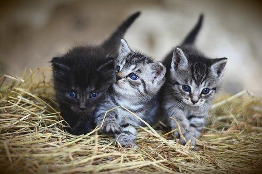 Kittens, Pet, Felines, Cats, Animals