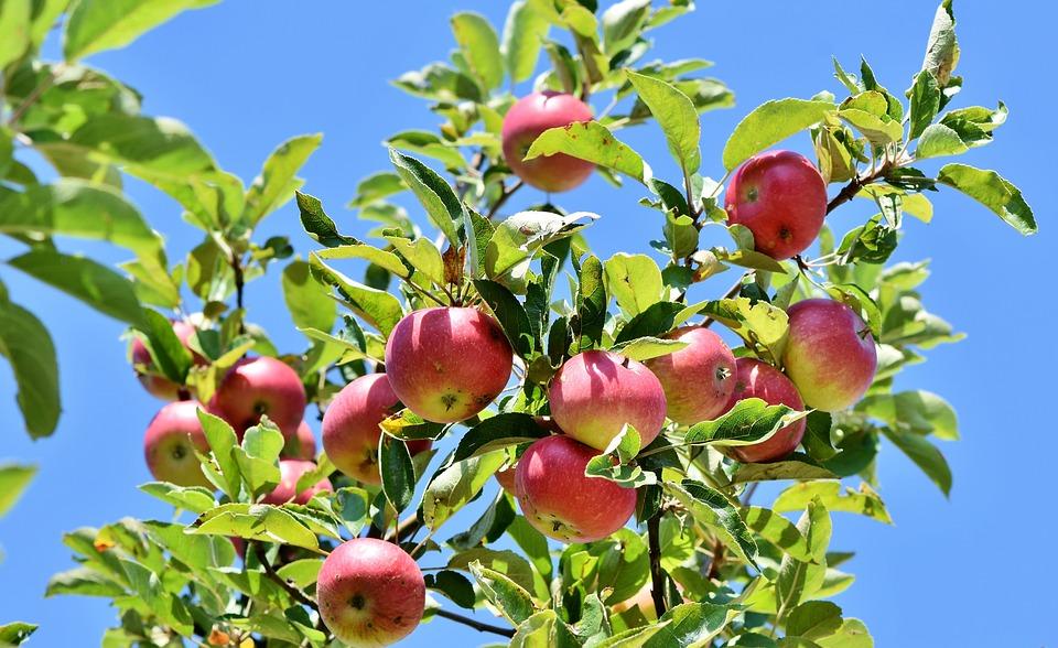 Apple, Appelboom, Fruit, Vruchten, Apple Orchard, Tak