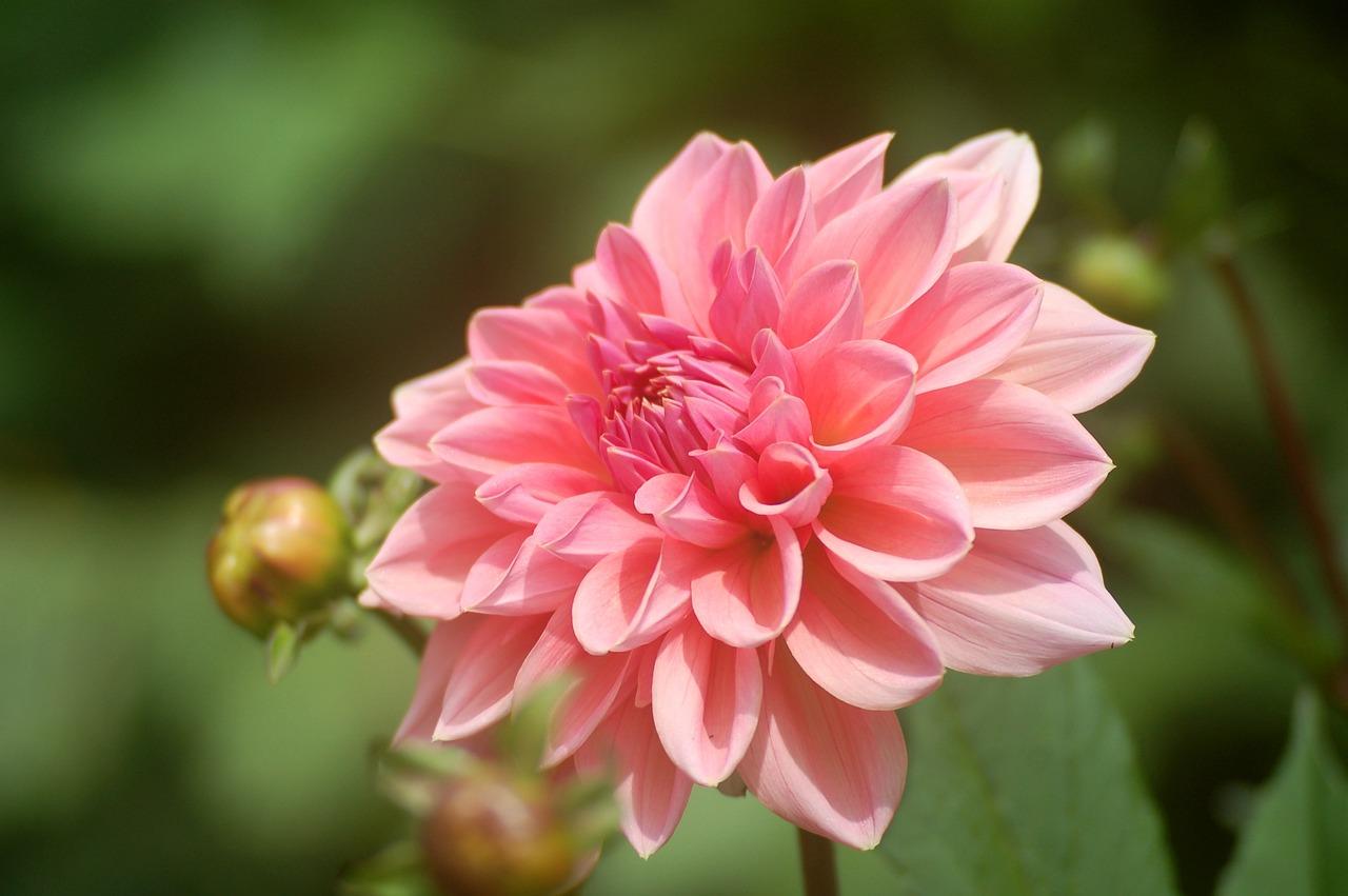 многие георгин фото цветов в саду попала