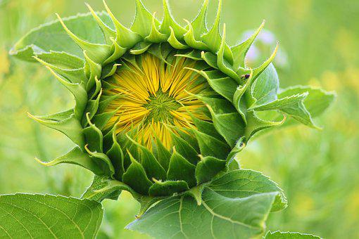 Sunflower, Bud, Blossom, Go Up, Bloom