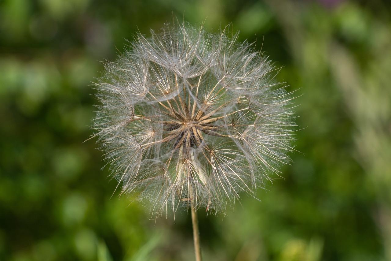 растения похожие на одуванчики фото