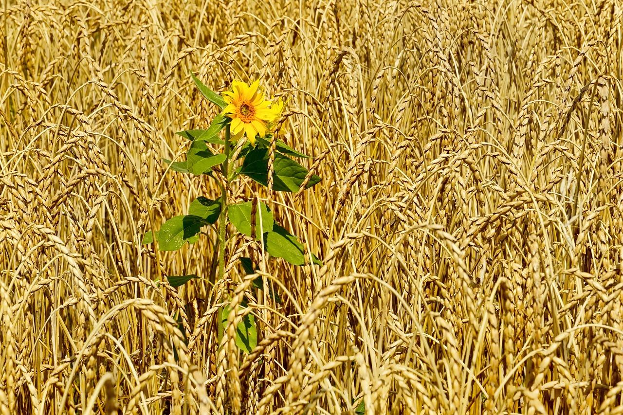 картинки пшеница и подсолнух портал, согласно легендам