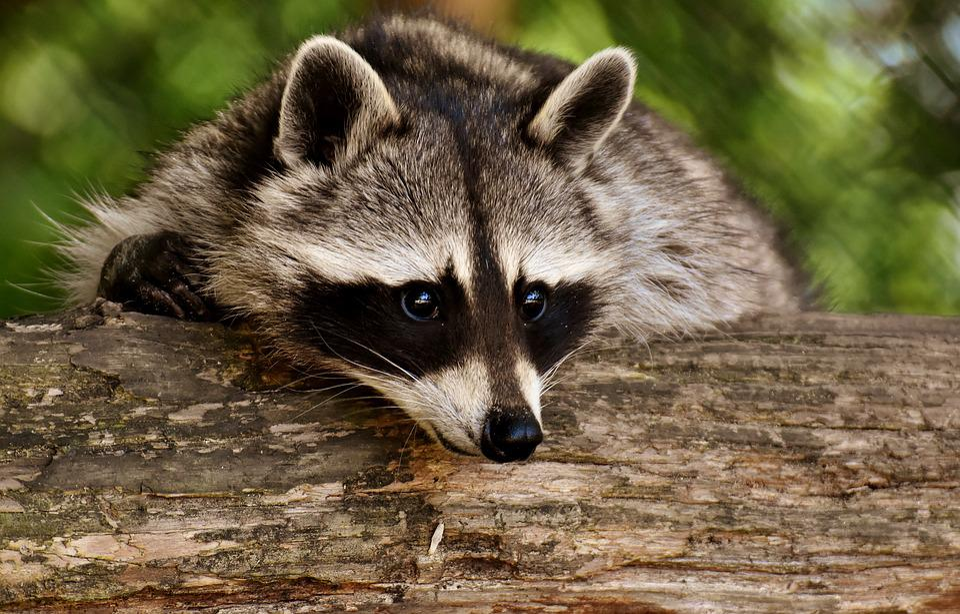 Raccoon, Wild Animal, Furry, Mammal, Nature