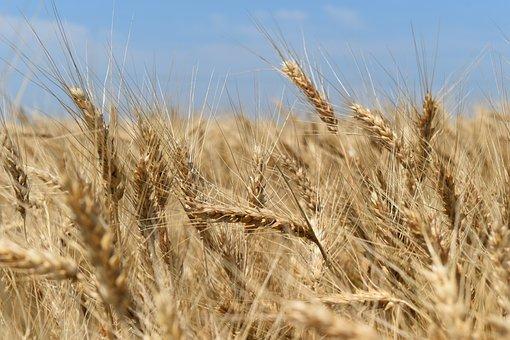 Мировой рынок зерна: «бычий» отчет USDA уронил биржи