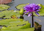 flower, water lily, lily pond