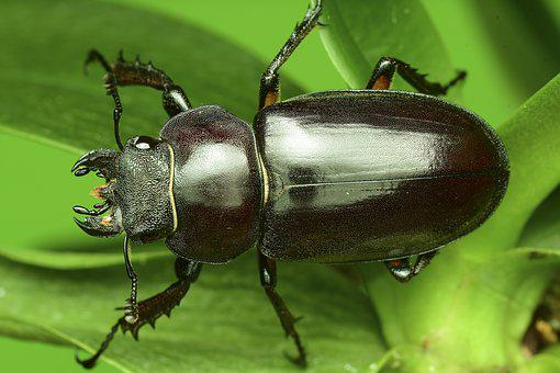 The Deer Bug, The Stag Beetle, Insects