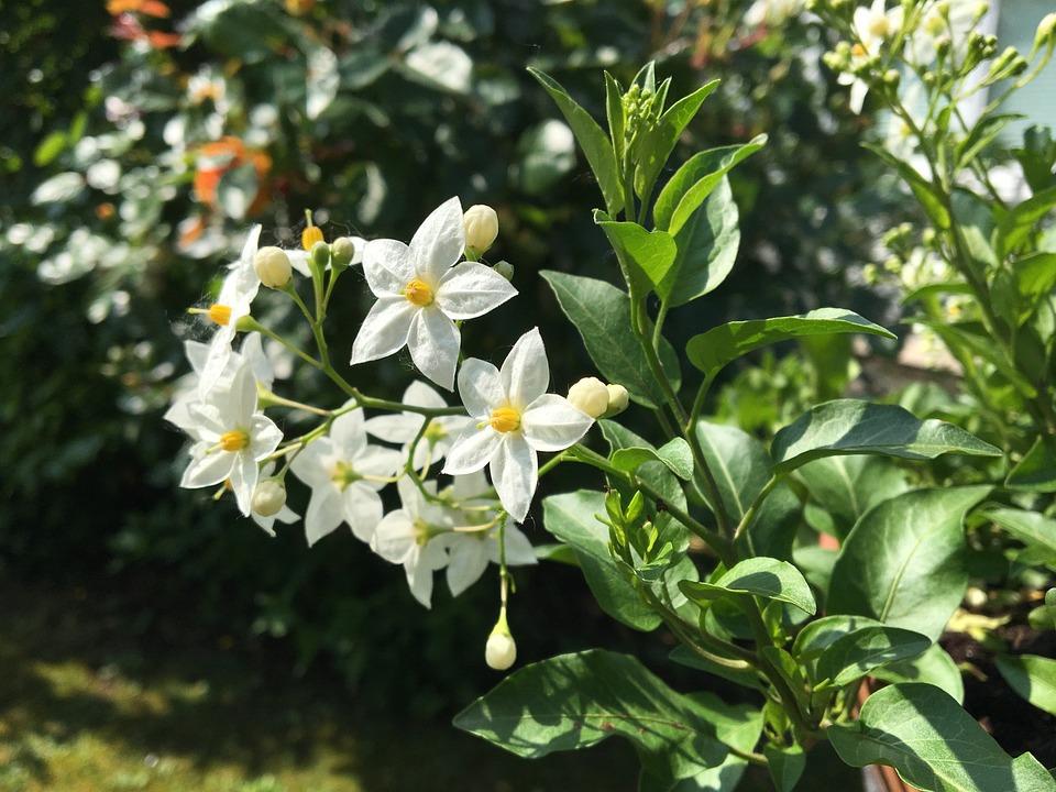 Blume Jasmin Garten Kostenloses Foto Auf Pixabay