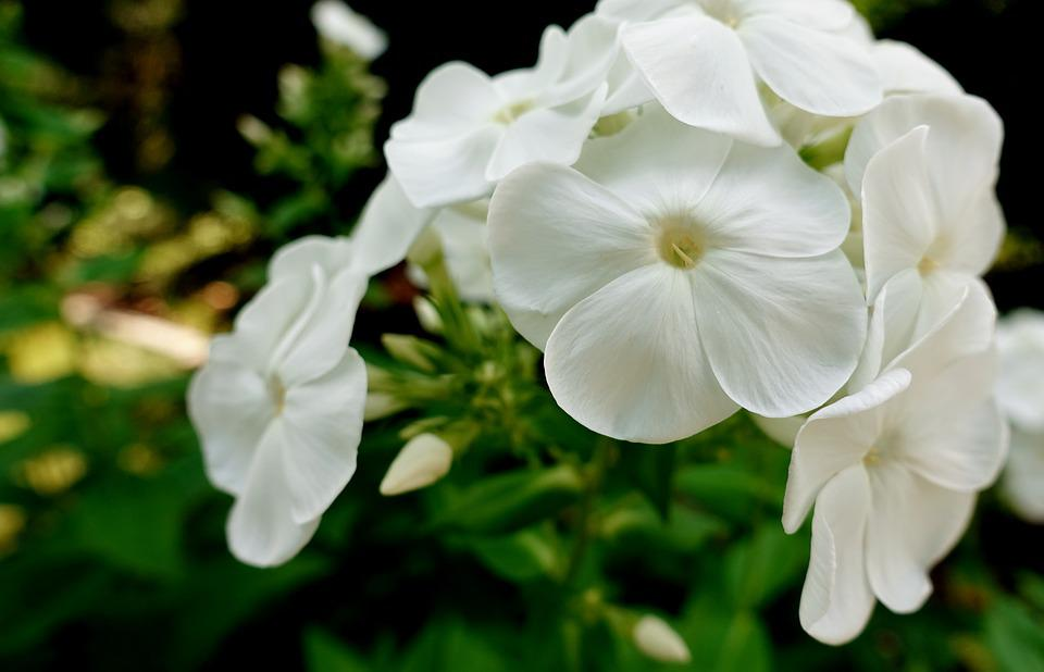 Flower white summer free photo on pixabay flower white summer plant blossom bloom nature mightylinksfo