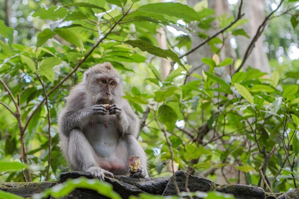Balinais Macaque À Longue Queue, Macaque, Singe