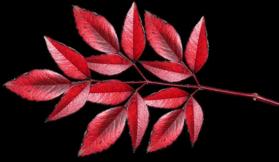 Blatter Bambus Rot Kostenloses Foto Auf Pixabay