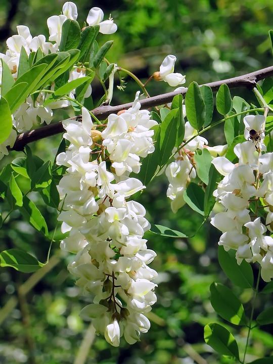 Acacia Fleur Blanche Photo Gratuite Sur Pixabay