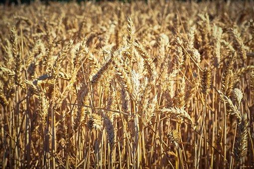 Россельхознадзор сообщил об упрощении экспорт фуражного зерна