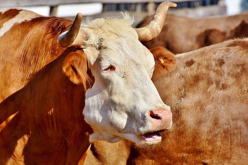 Bull, Ox, Cow, Animal, Cattle, Farm