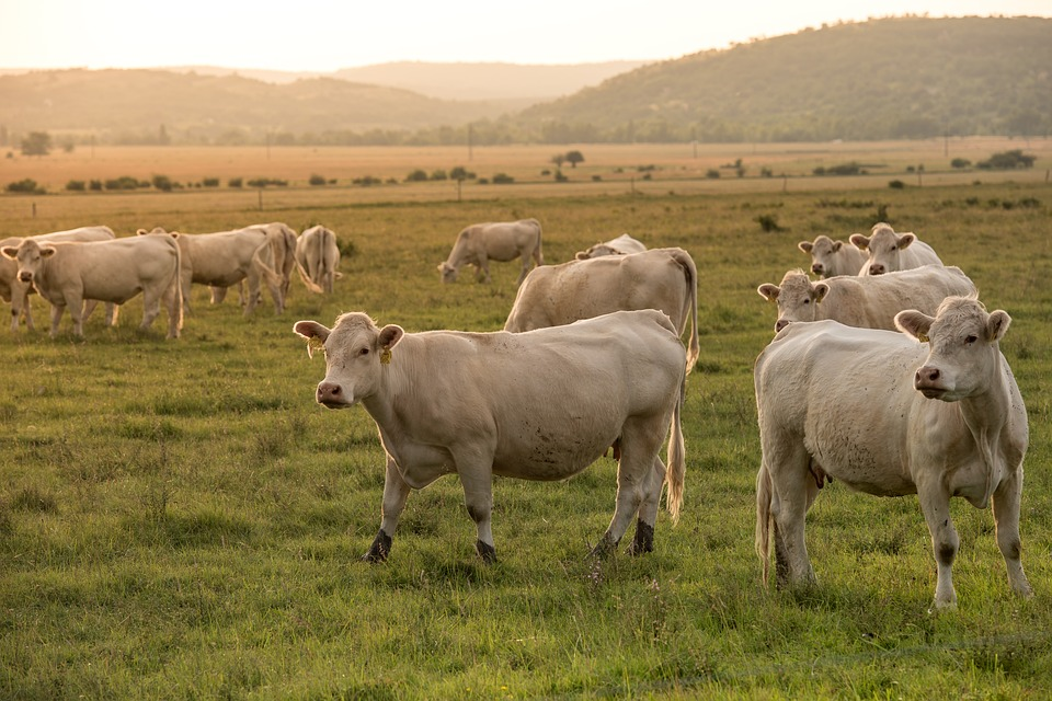 Beef, Pasture, Agriculture, Animal, Meadow, Ruminants