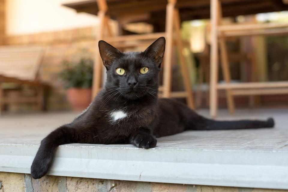 Hairiest čierna mačička na svete