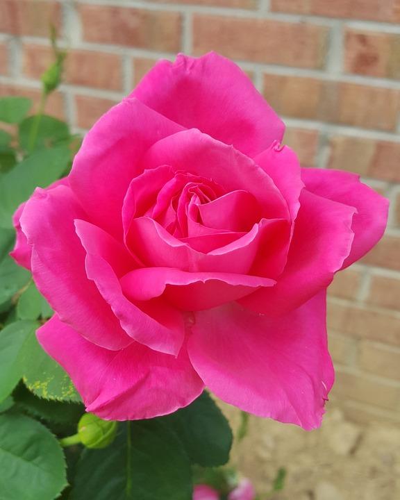 single pink rose free photo on pixabay