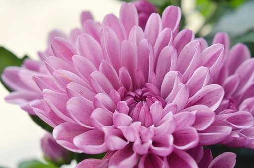 Flower, The Chrysanthemum, Pink, Flora