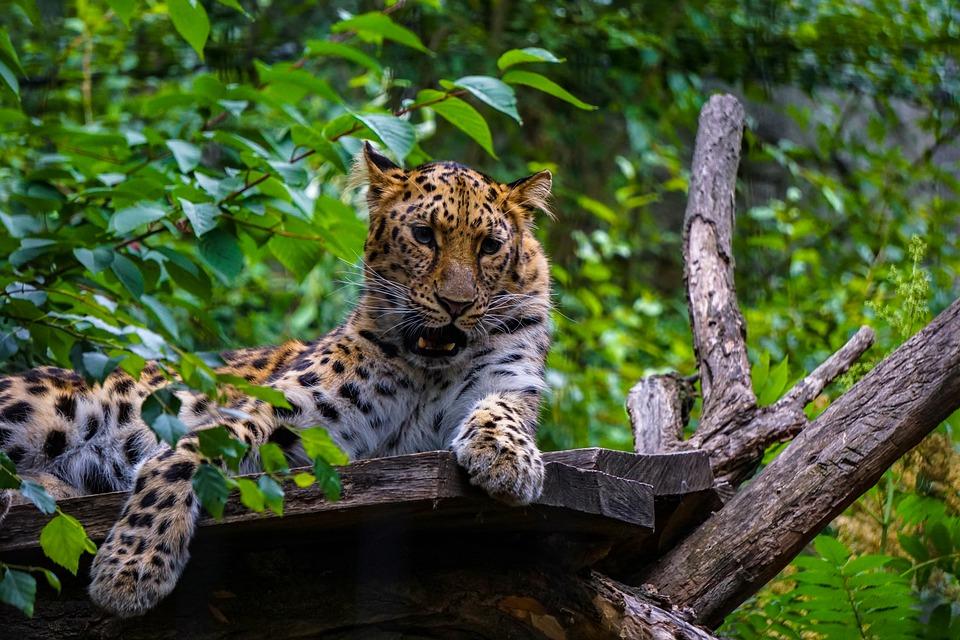 Lampart Duży Kot Drapieżnik Darmowe Zdjęcie Na Pixabay