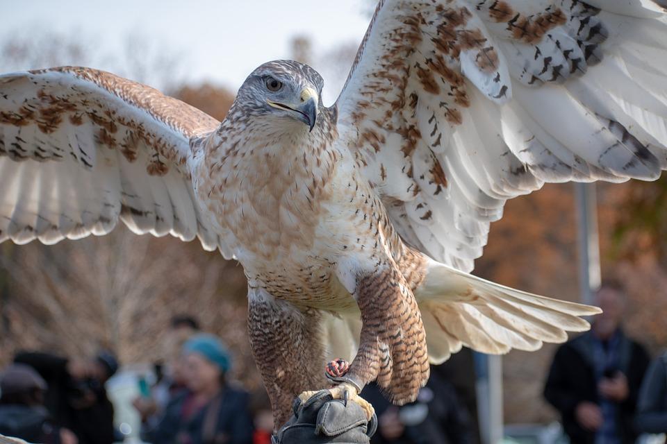 Hawk, Raptor, Ferruginous Hawk, Falconry, Feather, Bird