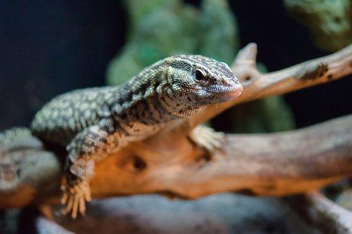 Lizard, Monitor, Ackie, Pet, Animal