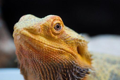 Lizard, Pet, Bearded Dragon, Dragon
