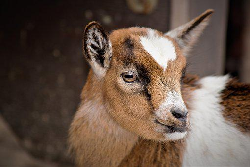 Baby Goats, Goat, Small Cute, Sweet