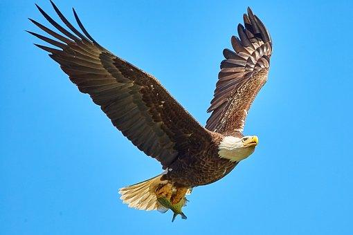 Bald Eagle, Bird In Flight, Bif, Usa